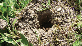 Moles in the Yard