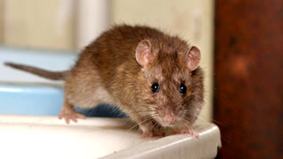 Signs of Mice & other Rodent Infestation Telltale Signs - Tomcat