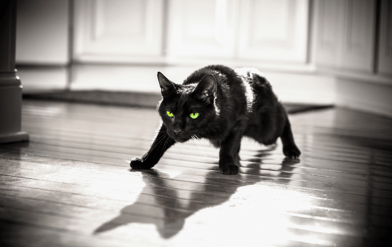 Black cat ready to pounce