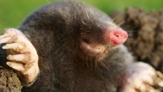 Using Mole Bait: close-up of mole