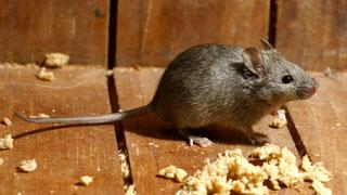 Types Of Mice Mouse Identification Tomcat