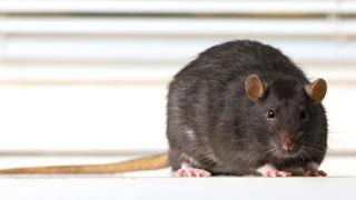 Dark Brown Rat Facing Forward
