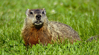 Groundhog on a lawn.