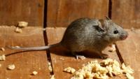 Brown House Mouse Facing Right