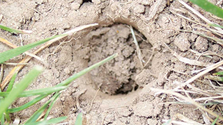 Mole hole in a lawn.