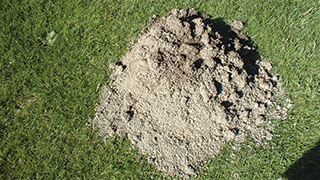 Mole mound on a lawn.